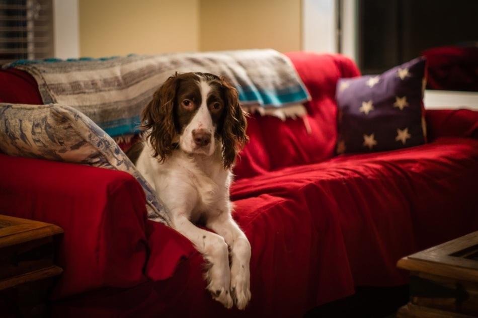 Butch, A Springer Spaniel
