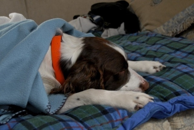 Butch our Springer Spaniel