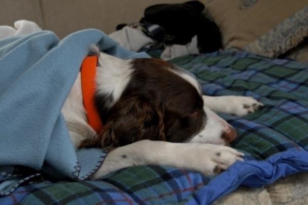Butch our Springer Spaniel